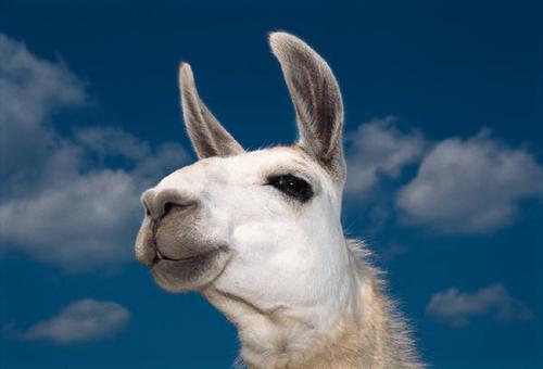 llama spitting Gallery