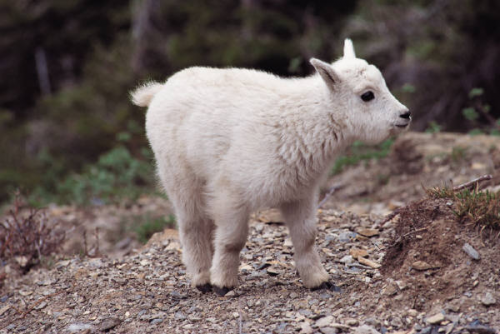 a small white lamb