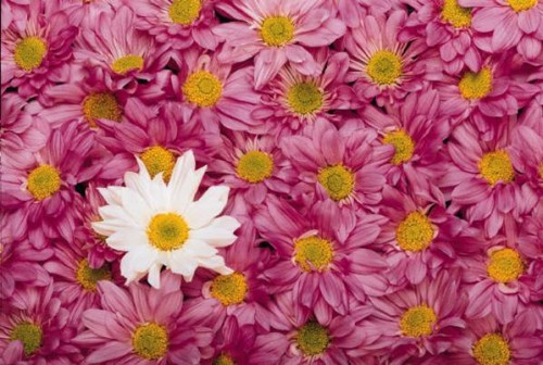 Pink daisies with one white daisy in the center
