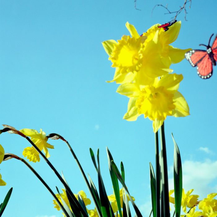 daffodils with butterfly