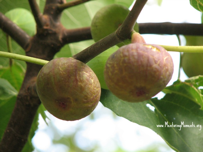 Ripe figs on the tree.