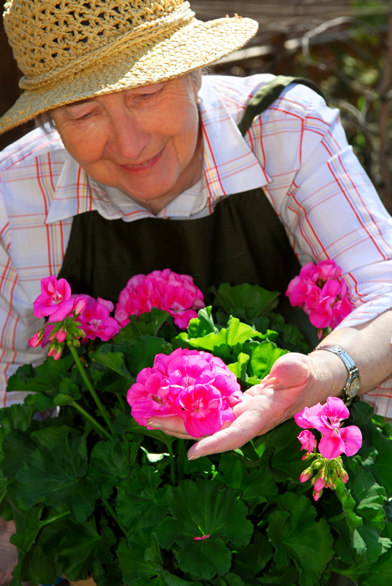 Senior adult lady tending pink roses.
